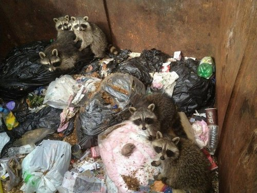 trapped_raccoons_saved_from_a_waste_container_02_500x375